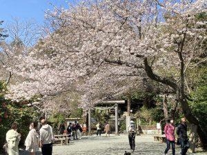 鎌倉お花見速報(3/24現在)
